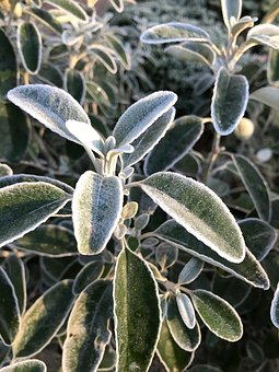Plant, Bush, Frost, Nature, Evergreen