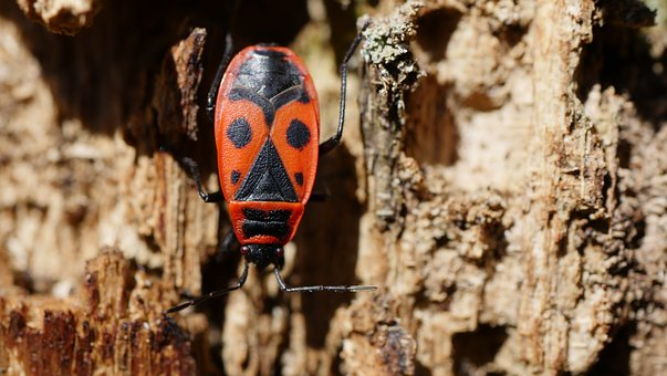 Fire Beetle, Beetle, Insect, Forest