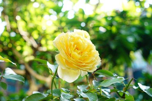 Rose, Flower, Petal, Floral, Noble, Orange, Yellow