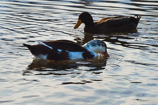 Ducks, Wildlife, Fowl, Nature, Wilderness