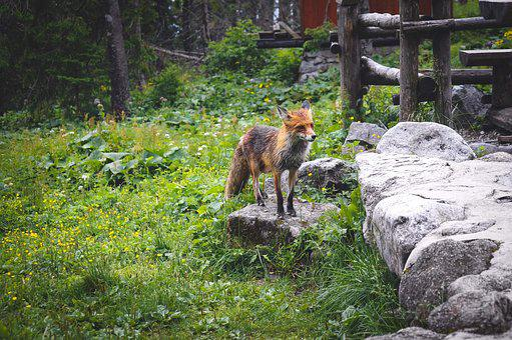 Fox, Nature, Animals, Forest, Predator, Mammal, Animal