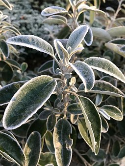 Plant, Bush, Frost, Bloom, Nature, Grow, Evergreen