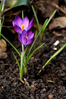 Crocus, Purple, Spring, Flower, Garden, Outdoor