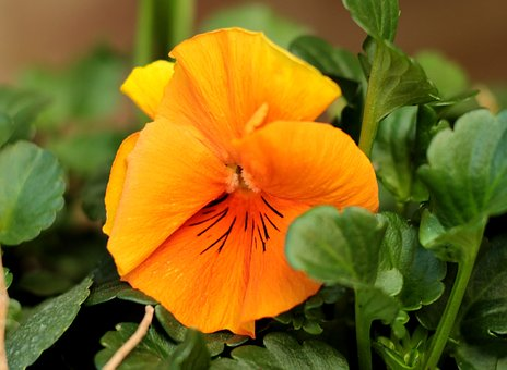 Violet, Orange, Yellow, Flower, Green, Garden, Plant