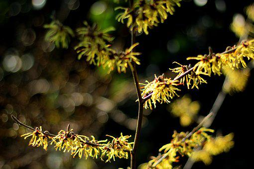 Hamamelis, Witch Hazel, Yellow Winterbloeier, Bush