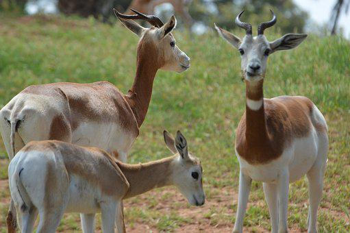 Dama, Gazelle, Morocco, Antelope