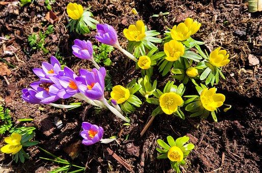 Nature, Flowers, Spring, Blossom, Bloom, Crocus