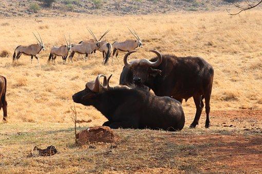 Safari, Africa, Buffalo, Nature, Animal, Herbivore