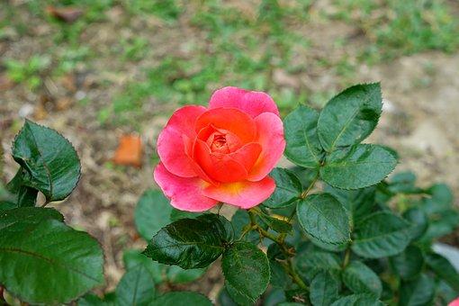 Rose, Blossom, Bloom, Flower, Nature, Rose Blooms