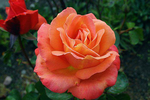 Rose, Flower, Noble, Orange, Garden, The Petals