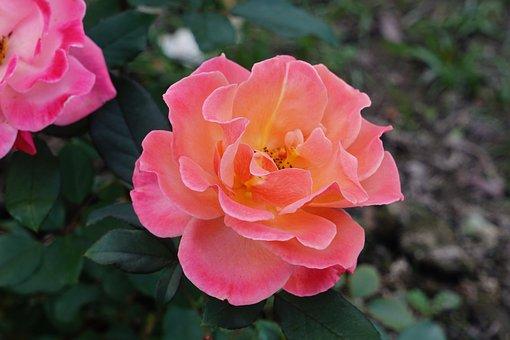 Rose, Orange Rose, Blossom, Bloom, Flower, Nature, Pink