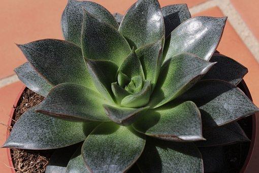Rosette, Succulent, Leaves, Garden, Exotic, Plant