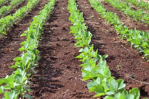 Soybeans, Plantation, Agriculture, Green, Cultures