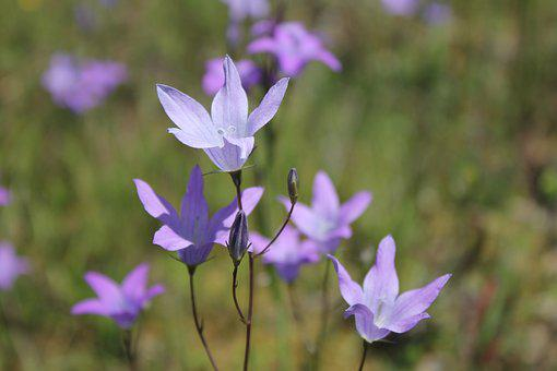 Bellflower, Purple, Flower, Flowers, Pointed Flower