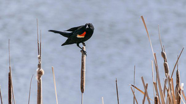 Red Wind Blackbird, Redwing, Bird, Feather, Water