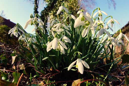 Snowdrop, Early Bloomer, Signs Of Spring, Nature