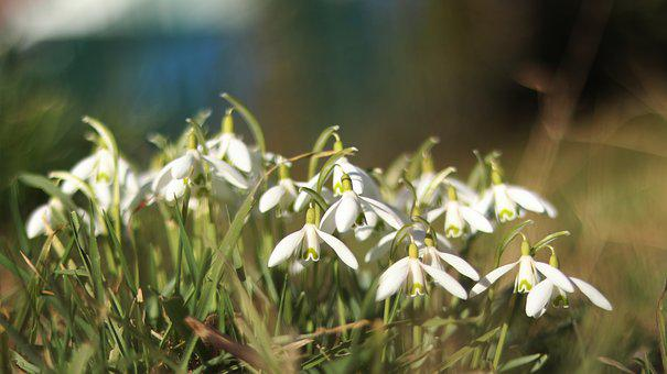Snowdrop, Spring, Flower, Nature, Signs Of Spring