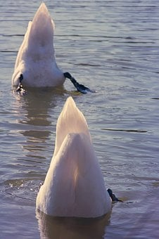 Swan, Diving, Together, Head Under Water