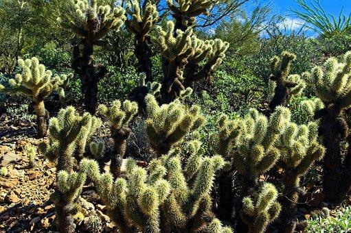 Teddy Bear Cholla, Arizona-sonora Desert Museum, Tucson
