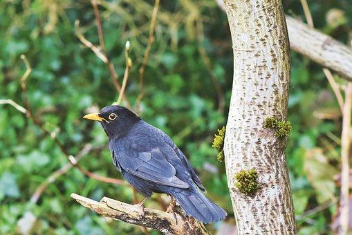 Blackbird, Bird, Songbird, Black, Bill, Animal, Tree