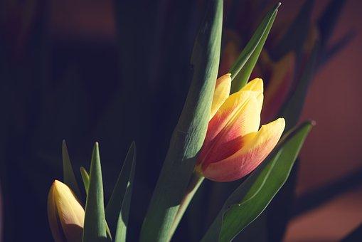 Tulip, Yellow, Red, Orange, Flower, Blossom, Bloom