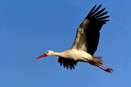 Stork, Wading Bird, Animal, Wildlife, Flying, Wing