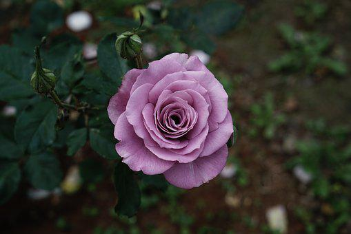 Rose, Flower, Petal, Love, Floral, Wierd, Strange