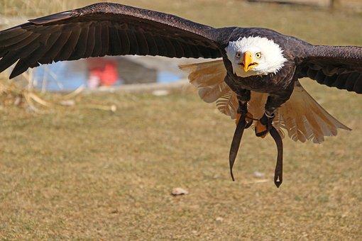 Adler, Bird, Predator, Wing, Close Up, Feather, Raptor