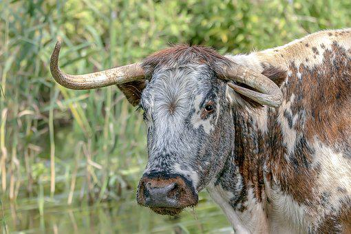 Longhorn, Cattle, Cow, Hairy, Livestock, Agriculture