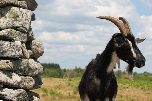 Goat, Sheep, Nanny-goat, France, Animal, Nature
