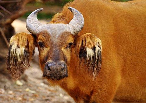 Beef, Buffalo, Horns, Livestock