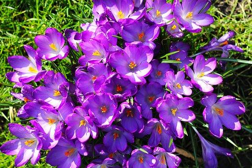 Crocus, Flowers, Purple, Bloom, Nature, Plant, Blossom