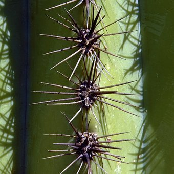 Spines Of A Saguaro, Cactus, Arizona, Desert, Tucson