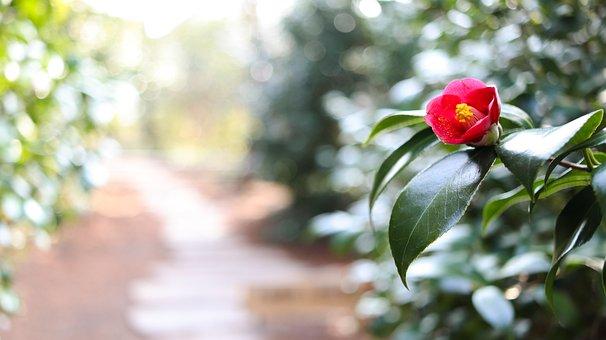 Camellia, Flower, Road, Camellia Flower, Winter