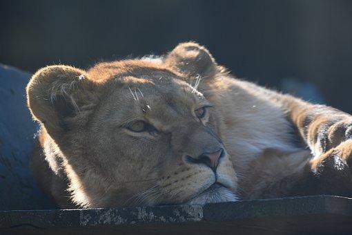 Lioness, Predator, Africa, Woman, Carnivores, Mammal