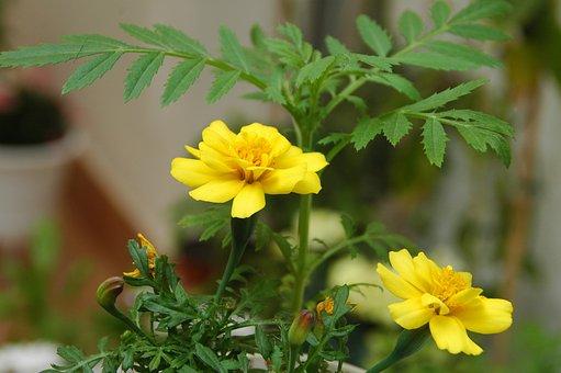 Marigolds, Yellow Flower, Clavel Del Moro