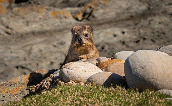Hyrax, South Africa, Coast, Animal World, Fauna, Fur
