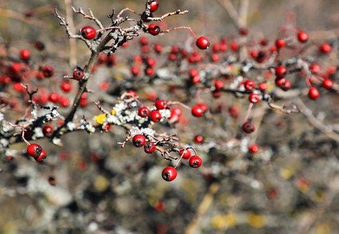 Hawthorn, Berry, Crop, Red, Berries, Fruits, Bush