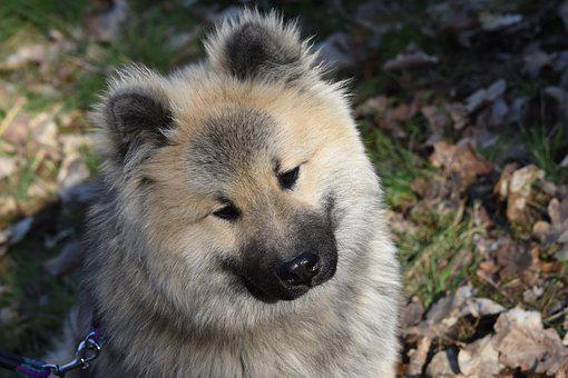 Dog, Dog Eurasier Olaf Blue, Pup, Eurasier
