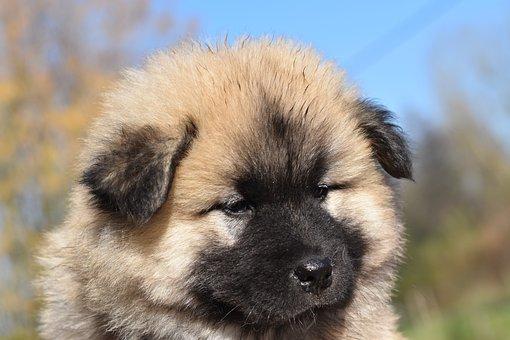 Dog, Bitch, Portrait Puppy, Eurasier Puppy