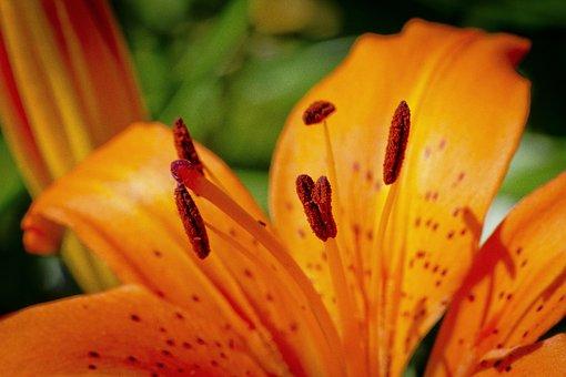 Lily, Orange, Closeup, Flower, Nature, Spring, Bloom
