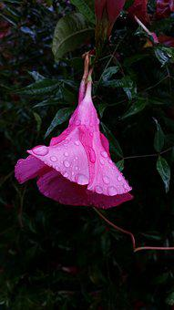 Flower, Dewdrops, Hanging Flower