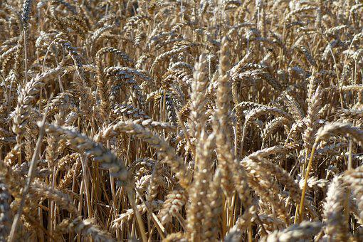 Cereals, Field, Harvest, Plant, Cornfield, Wheat, Food