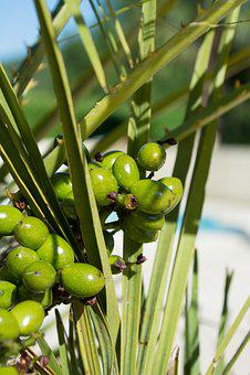 Palm, Fruit, Fruits, Exotic, Palm Tree, Infructescence