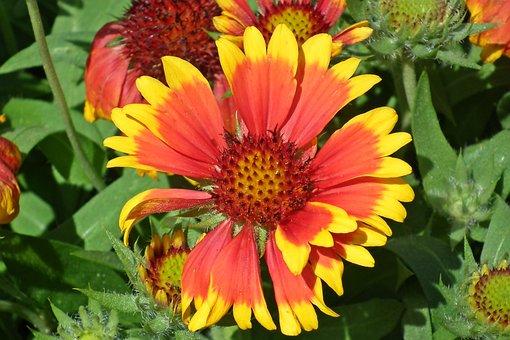 Gailardia Nadobna, Flower, Two-tone, Orange, Garden