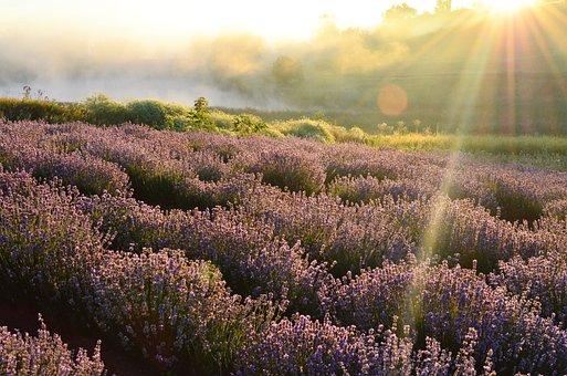 Field, Horizon, Lavender, Dawn, Nature, Hill
