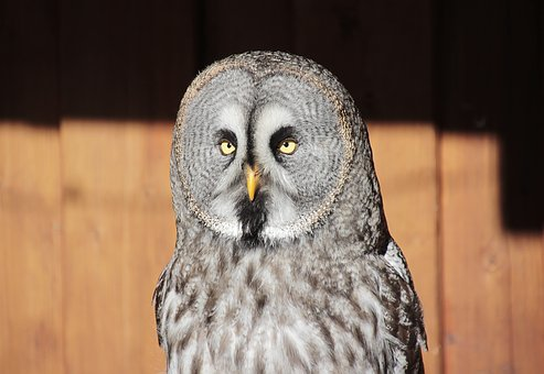 Bart Owl, Bird, Owl, Nature, Animal World, Bill