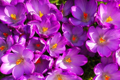 Flowers, Crocus, Spring, Bloom, Nature, Blossom, Plant