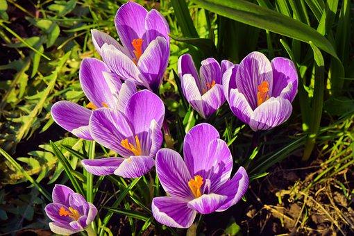 Crocus, Flower, Spring, Nature, Purple, Plant, Blossom