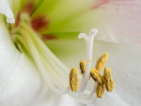 Amaryllis, Early, Stamens, Plant, Flower, Close Up